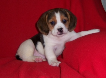 Peagle  Puppy Love  Cute baby animals Dog breeds Dogs