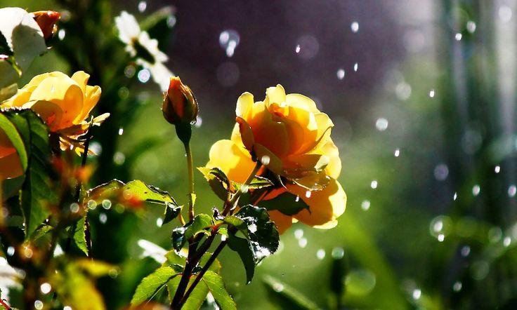 Gambar Bunga Mawar Kuning Saat Hujan