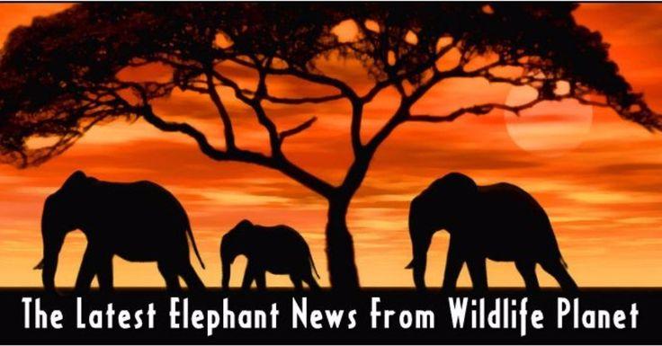 Go Here http://ift.tt/2xhJykf For the Latest #wildlife #elephant #news  #elephants #elephantsanctuary  #elephant  #ivory #poaching #poachingisevil #china #jumbos #animals #animal #wildlifeplanet #wildlifephotography #wildlife  #wildlifeplant
