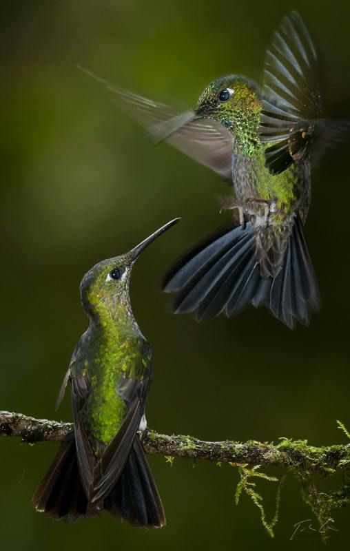 Let's dance - Green hummingbirds are beautiful, more beautiful than any other hummingbird to me : )