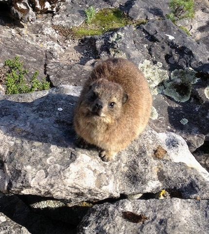 Dassie, or Rock Dassie.  An amazing little creature commonly found at the top of Table Mountain, South Africa.