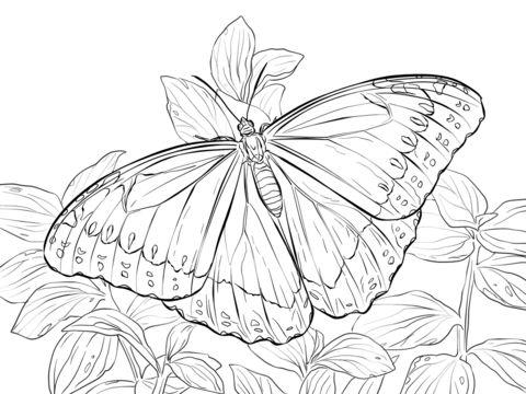 Mariposa Morfo Azul Dibujo para colorear