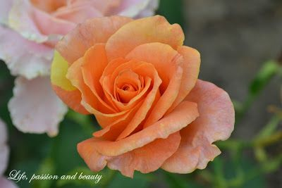 where the wild roses grow ~ Life, passion and beauty
