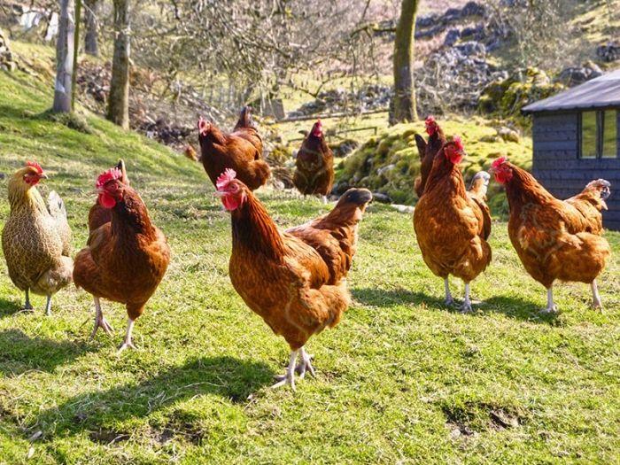 Любой, особенно начинающий, птицевод может столкнуться с падежом цыплят в своем домашнем хозяйстве. Сохранение молодняка - это одна из приоритетных задач птицевода. http://kurinyjdom.ru/razmnozhenie-kurits/sovety-po-sokhraneniyu-molodnyaka.html