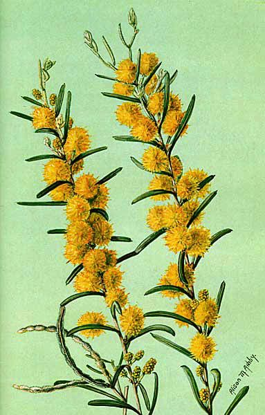 Acacia ashbyae: Ashby's Wattle artist: Alison Ashby (1901-1987) published as a postcard original artwork held by the SA Museum