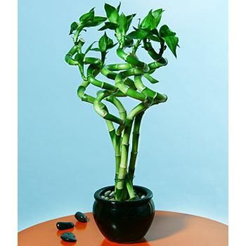 Good Luck Live Curly Bamboo Plants Case Pack