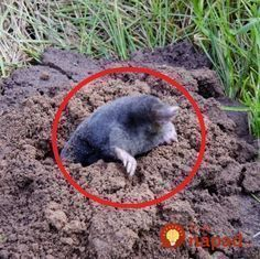 Záhrada plná dier a krtincov – myslíte si, že odohnať podzemného tvora je takmer nemožné? Ja som veľmi spokojná s týmto nápadom, odkedy používam s krtkom problém nemám.