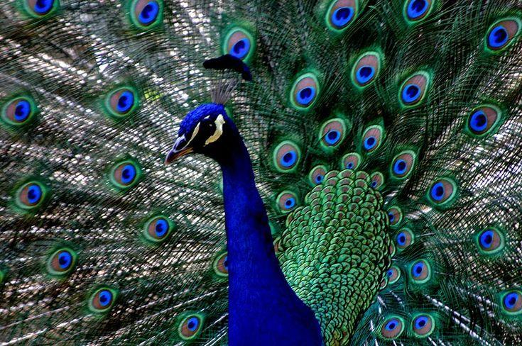 Los pavos reales, pertenecientes a la familia de las Phaisanidae, son aves grandes y muy coloridas (sobre todo azules y verdes) conoc...