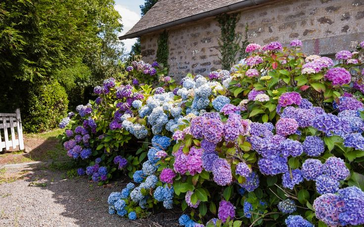 rosarote-blaue-und-violette-hortensien-im-bauerngarten-1920x1200.jpg (1920×1200)
