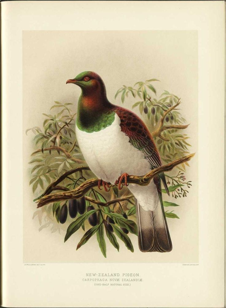 Kereru - New Zealand wood pigeon  'A History of the Birds of New Zealand', 1888 by Sir Walter Lawry Buller    http://en.wikipedia.org/wiki/New_Zealand_Pigeon