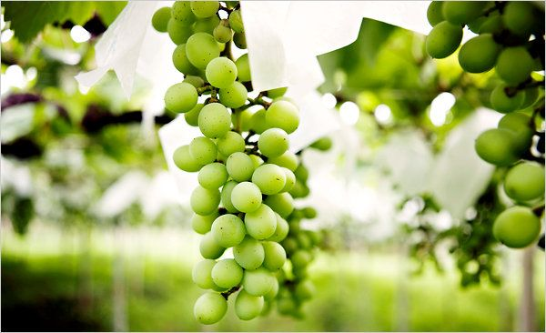Koshu - A Japanese Wine for the West - NYTimes.com