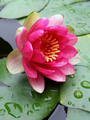 Raspberry water lily.
