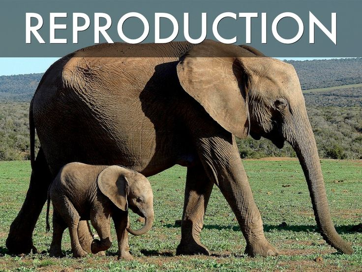 All living things reproduce. In the picture we see a mom and a baby elephant.