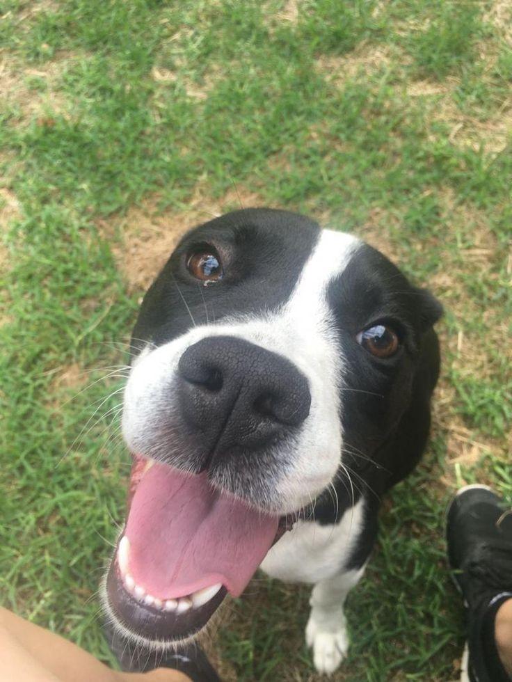Meet Flopsie, a Petfinder adoptable Beagle Dog | Chantilly, VA