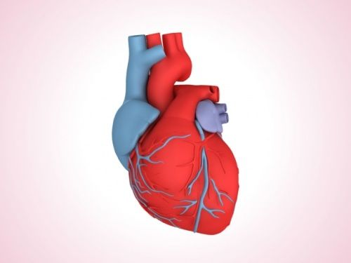 Heart 3d Model School Projects Pinterest D Heart