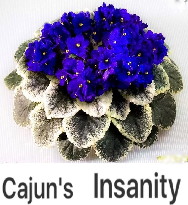 African Violet Cajun's Insanity