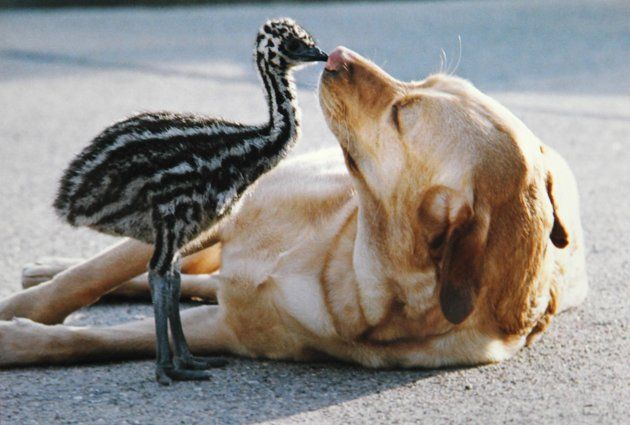 Baby emu & dog kissing