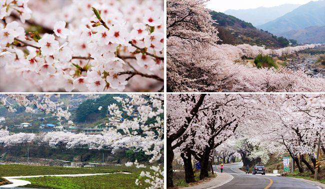 Official Site of Korea Tourism Org.: Hwagae Cherry Blossoms Festival 2013 Starts April 6