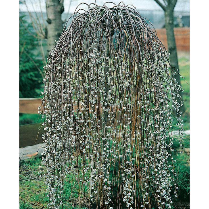 Vackra färgskiftningar i din trädgård! Hängande krona med långa och tätt liggande grenar. Trädet är toppympat på mindre och långsamtväxande stam. Kronan ä