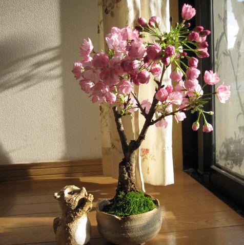 Znajdź więcej Bonsai informacji o Darmowa wysyłka 15 nasion kolor różowy kwiat wiśni sakura nasion, Wieloletnia drzewo nasiona kwiatów bonsai, wysokiej jakości seed treatment, dostawcach flower beetles z Chin, tanich flower garden seed od Lucy's garden Store na Aliexpress.com