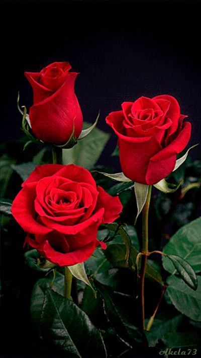 Beautiful and colorful animated rose flowers   Beautiful pictures