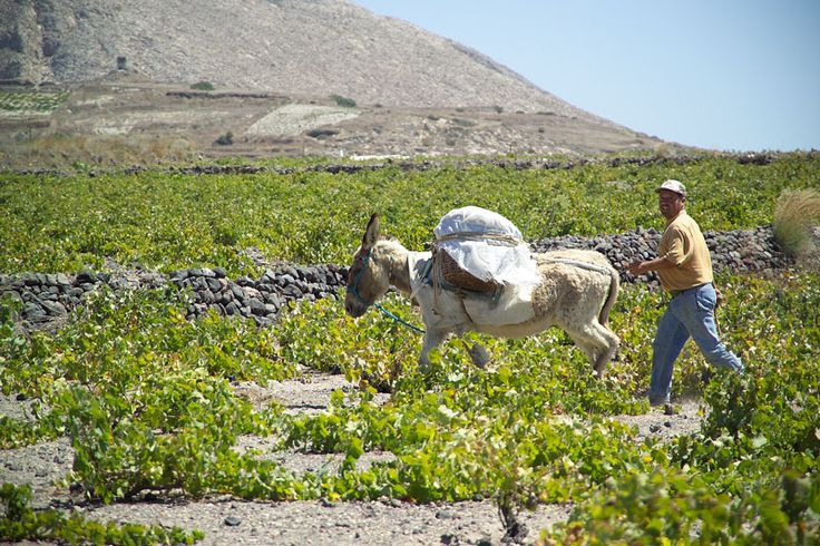 A.Karamolegos Winery, Santorini