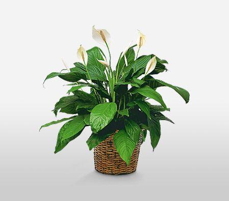 Peace Lily Sympathy Plant