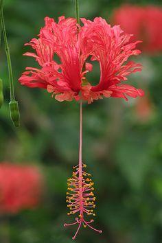 Hibiscus schizopetalus                                                       …