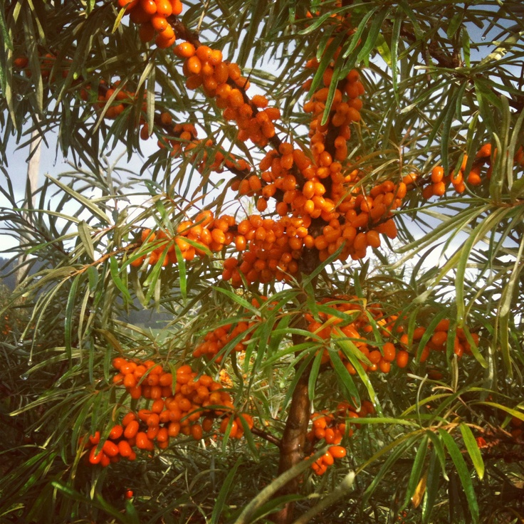 #SeaBuckthorn by #MyHavtorn of Sweden, Bollebygd, August 2012