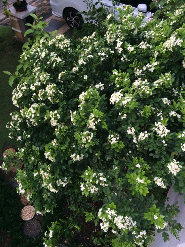 Kemuning ( Murraya Paniculata)