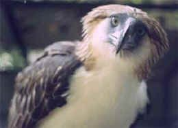 The Philippine eagle,   the National Bird