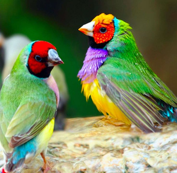 yellow-lady-gouldian-finch-for-sale.jpg (1200×1168)