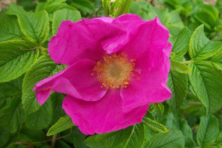 Plus de 1000 id es propos de rosiers botaniques sur - Rosier mange par des chenilles ...