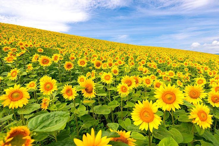 A Sea of Sunflowers In this incredible capture by photographer Jason Arney we see a dazzling field of sunflowers in Daisetsuzan National Park (Taisetsuzan) in Hokkaido, Japan.