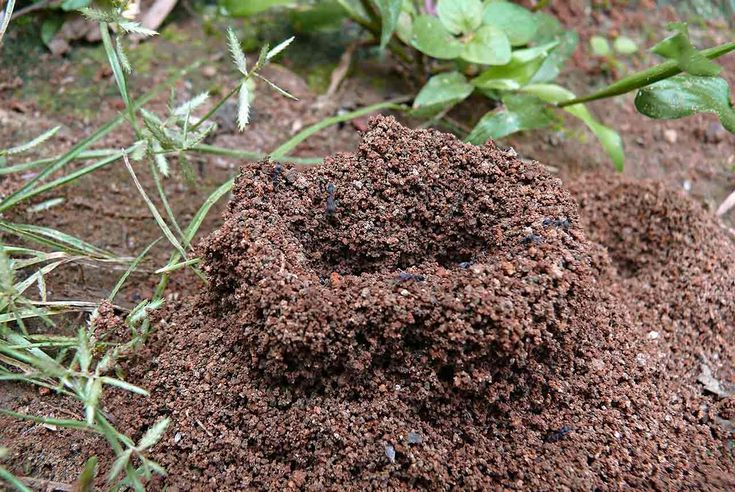 In order to meet the challenge of a fire ant invasion, it is important to understand the lifestyle habits of fire ant colonies.