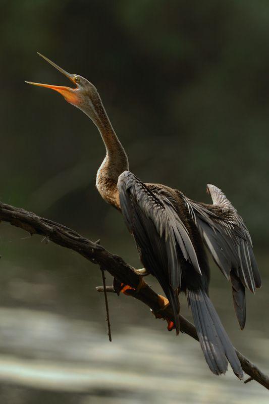 Darter (Snake Bird)/Anhinga anhinga