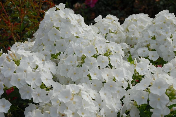 No other phlox blooms as much as Volcano phlox, as you can see by the masses of…