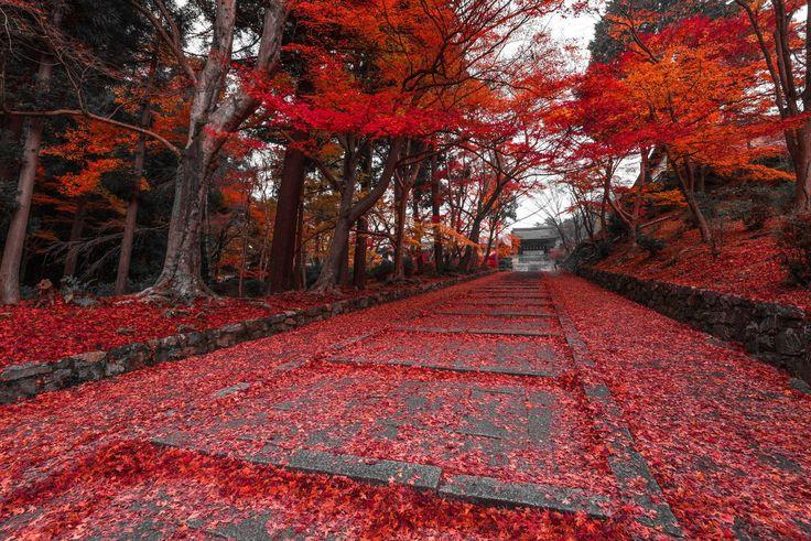 秋の京都といえば紅葉の美しさが見所、毘沙門堂の参道はまるでレッドカーペットのようだ。 Aki no Kyōto to ieba kōyō no utsukushi-sa ga midokoro, Bishamondō no sandō wa marude reddo kāpetto no yōda. Bicara musim gugur di Kyoto maka keindahan daun merahnya menjadi ciri khas, dan jalan masuk ke kuil Bishamondo benar-benar seperti karpet merah. http://labaq.com/archives/51874048.html