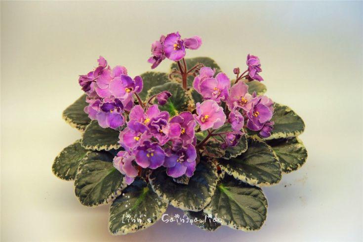 Saintpaulia African Violet Wiko,By Linn Boa