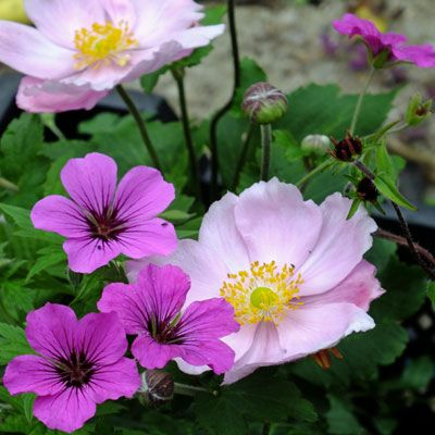 Anemone 'Queen Charlotte' and Geranium Patricia