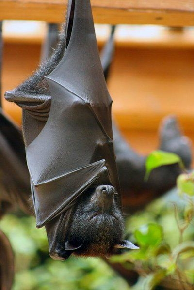 Indian flying fruit bat