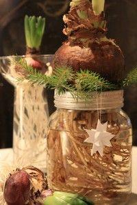 Amaryllis bulb + mason jar hostess gift