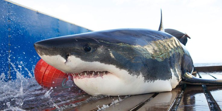 Track Sharks with OCEARCH's Global Shark Tracker - https://thebestsites.com/website/track-sharks-ocearchs-global-shark-tracker/
