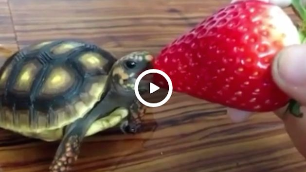 A turtle eating a strawberry is officially the cutest ...