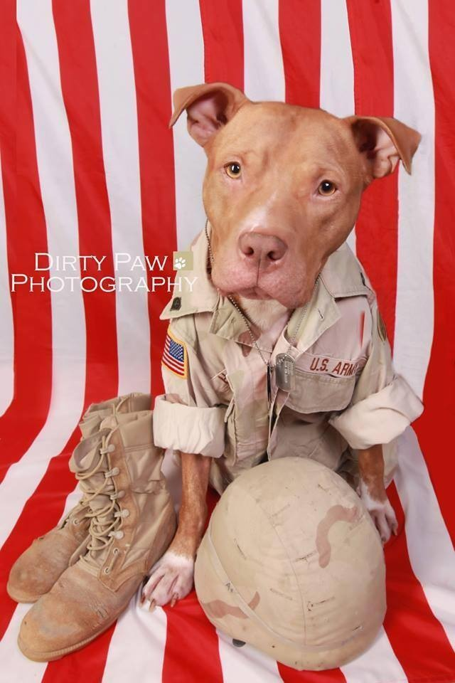 Best Pit Bull Army Adorable Dog - 3650aab6a27da35d30a2333769a78351--troops-soldiers  Graphic_733932  .jpg