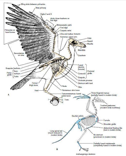 crow anatomy