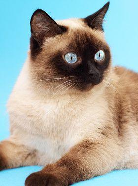 Traditional siamese portrait cats pinterest fofura e for Siamese 9 electric motor