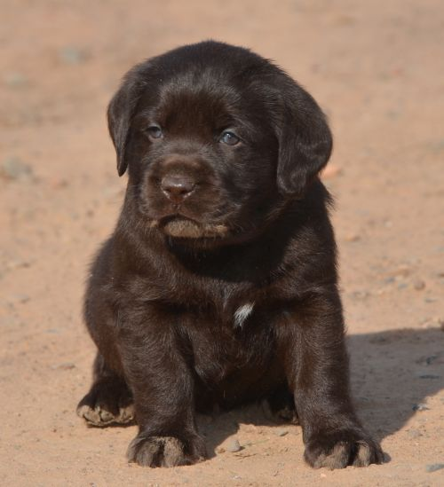 Chocolate Lab Pups - Family Loved Labs -English Labradors for Sale