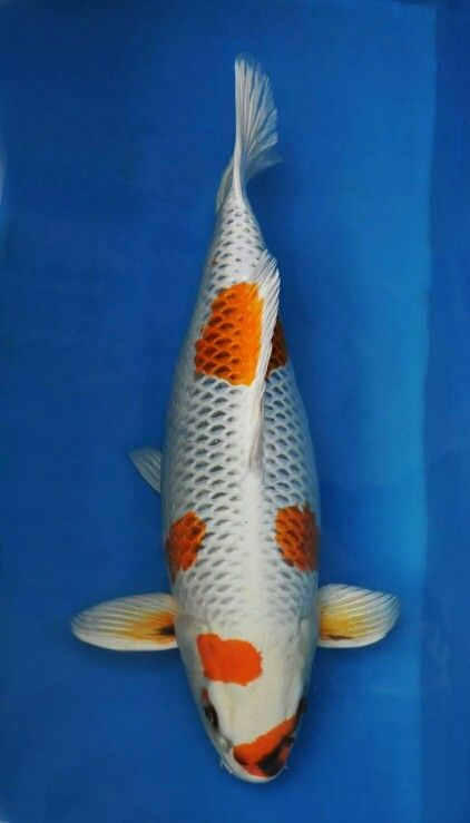 1000 images about amazing koi and koi ponds on pinterest for Amazing koi ponds