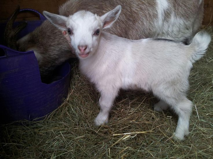 Pygmy Goats For Sale | Beautiful pygmy goats for sale : For Sale - Livestock - Tractors and ...